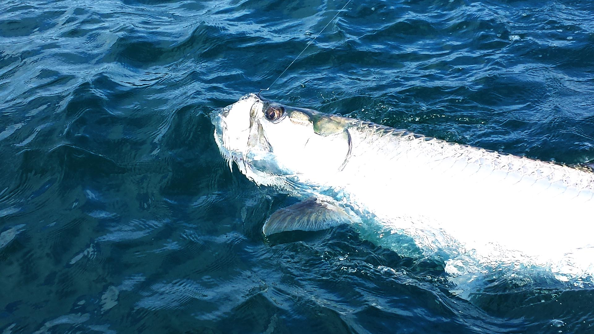 Peak Tarpon Fishing is NOW!